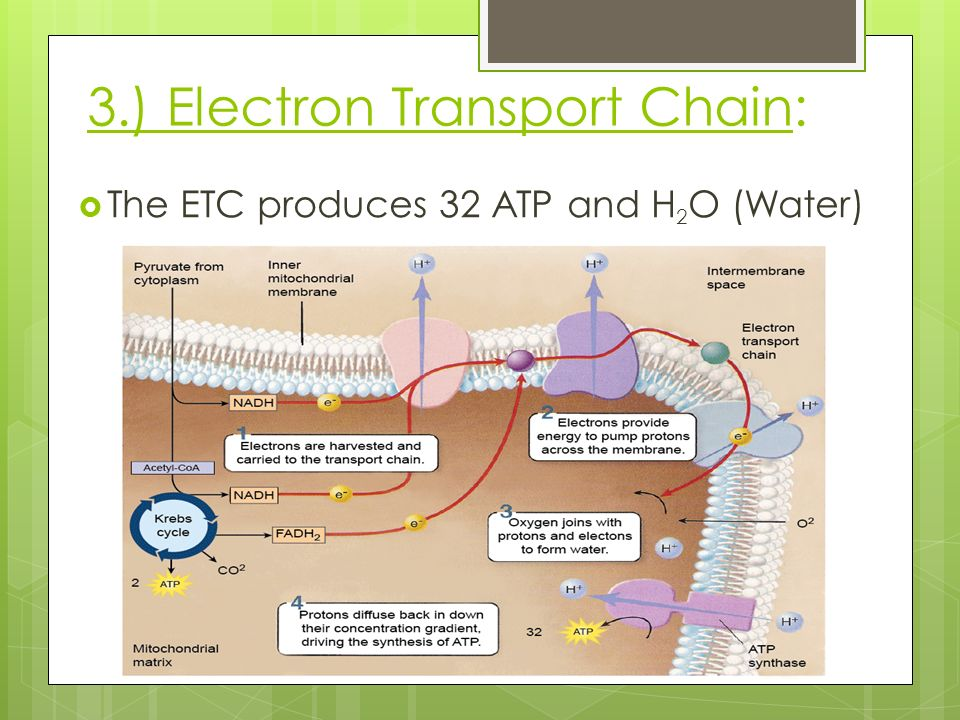 3.) Electron Transport Chain:  The ETC produces 32 ATP and H 2 O (Water)