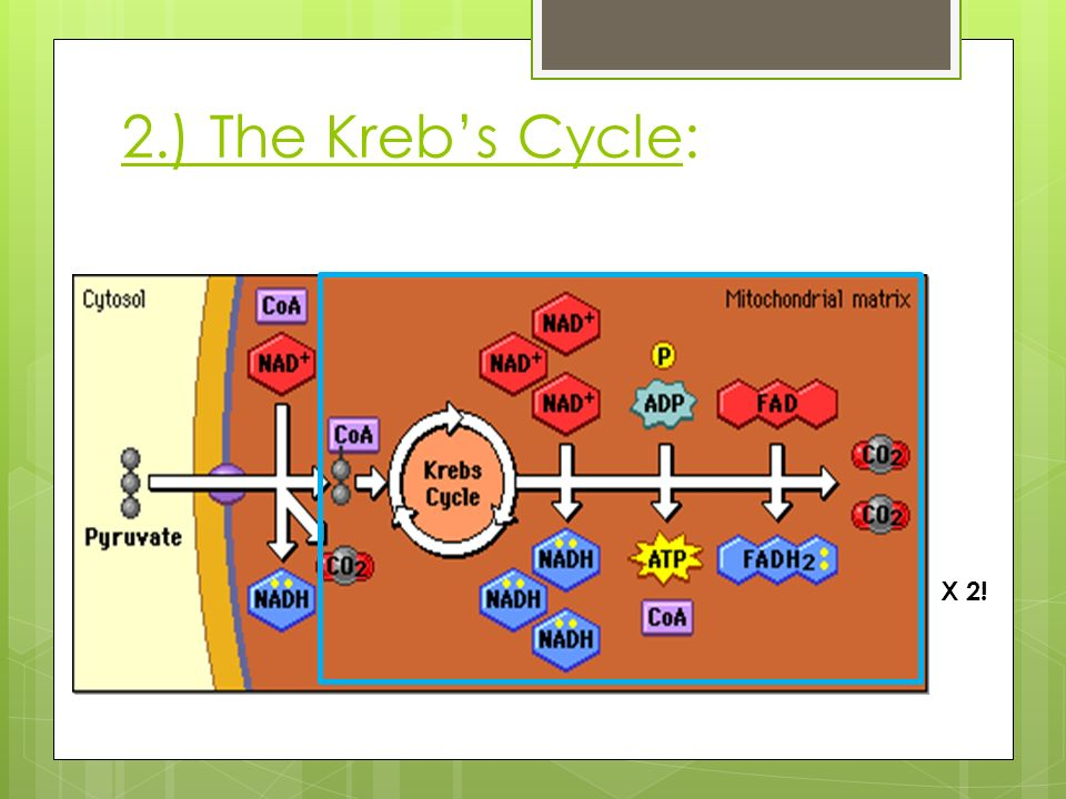 2.) The Kreb's Cycle: X 2!