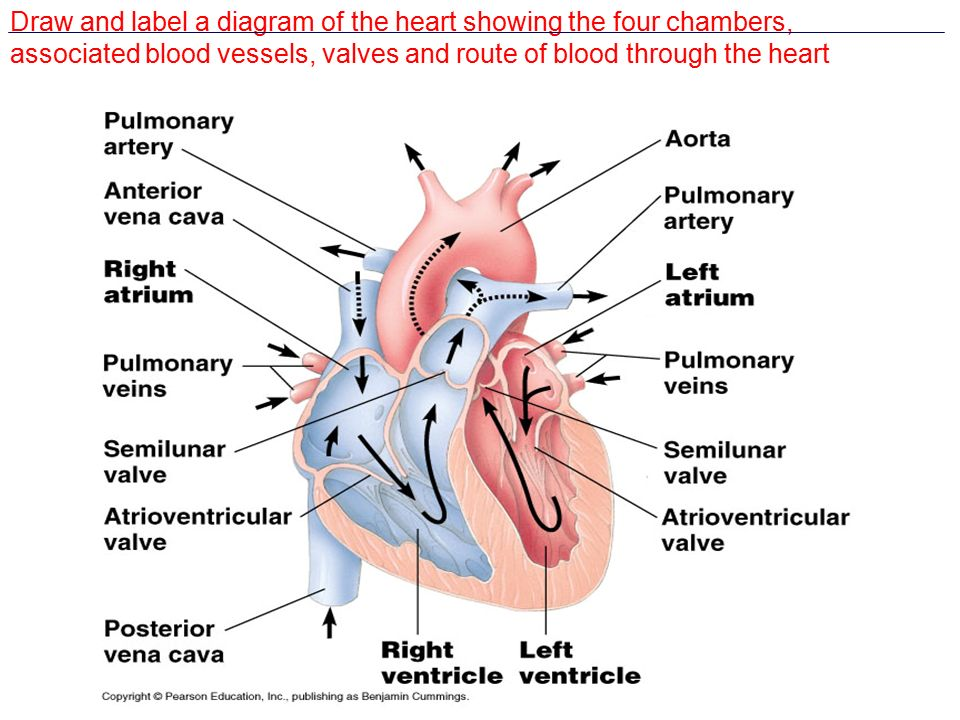 Topic 6 62 transport system draw and label a diagram of the heart 2 draw and label a diagram of the heart showing the four chambers associated blood vessels valves and route of blood through the heart ccuart Images