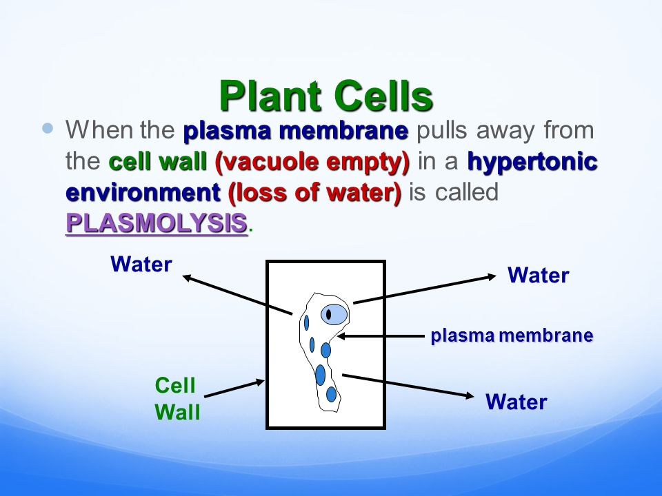 Plant Cells plasma membrane cell wall(vacuole empty)hypertonic environment (loss of water) PLASMOLYSIS When the plasma membrane pulls away from the cell wall (vacuole empty) in a hypertonic environment (loss of water) is called PLASMOLYSIS.