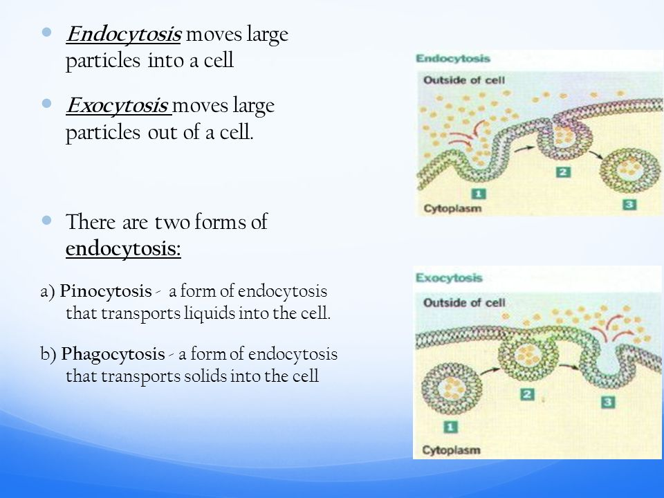 Endocytosis moves large particles into a cell Exocytosis moves large particles out of a cell.