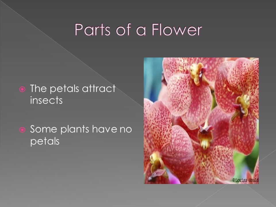 The petals attract insects  Some plants have no petals