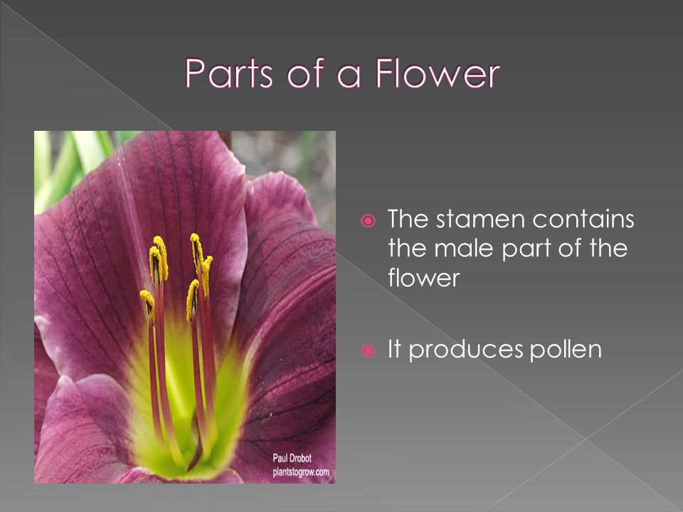  The stamen contains the male part of the flower  It produces pollen