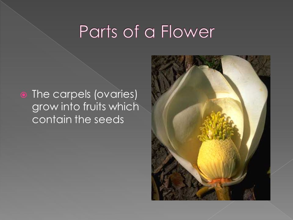  The carpels (ovaries) grow into fruits which contain the seeds