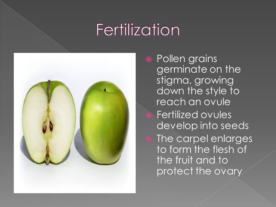  Pollen grains germinate on the stigma, growing down the style to reach an ovule  Fertilized ovules develop into seeds  The carpel enlarges to form the flesh of the fruit and to protect the ovary