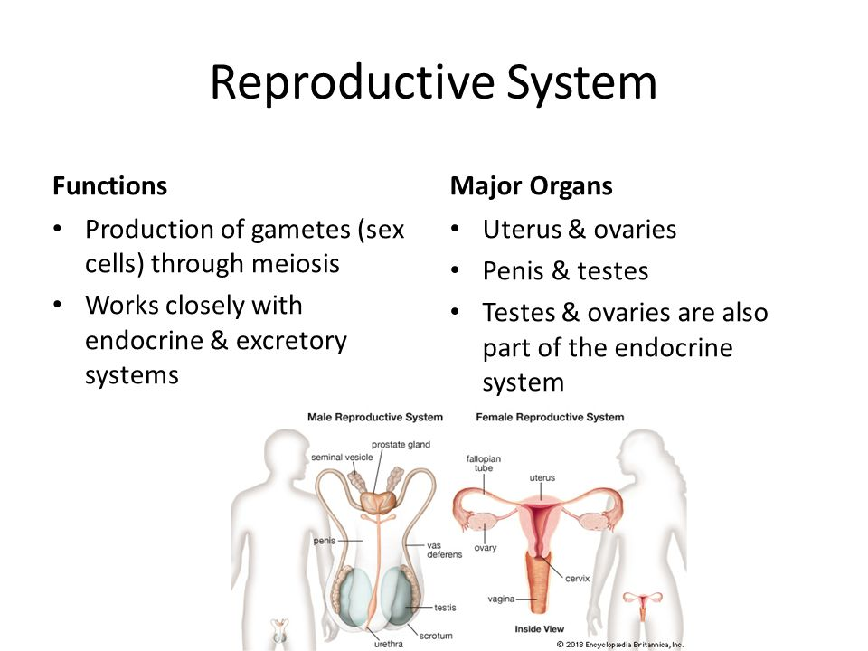 reproduction reproductive system and sex cells The female reproductive system of an important organic system in females for reproduction mammary lobes containing clusters of cells called.