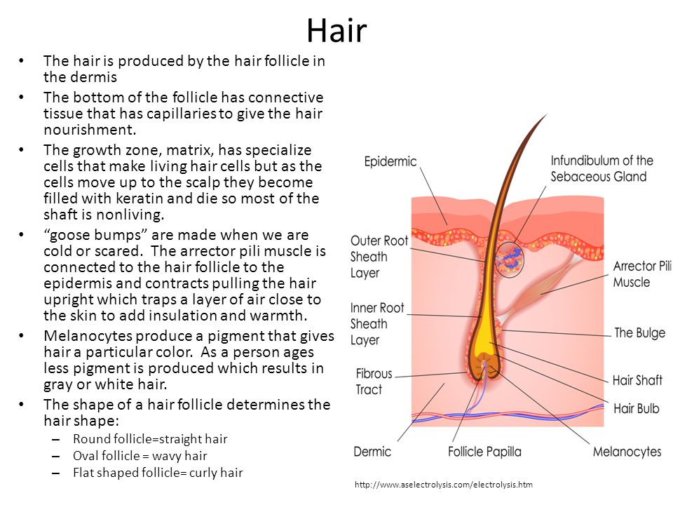 Hair The hair is produced by the hair follicle in the dermis The bottom of the follicle has connective tissue that has capillaries to give the hair nourishment.