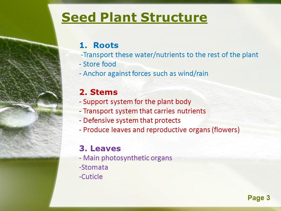 Powerpoint TemplatesPage 3 Seed Plant Structure 1.Roots -Transport these water/nutrients to the rest of the plant - Store food - Anchor against forces such as wind/rain 2.