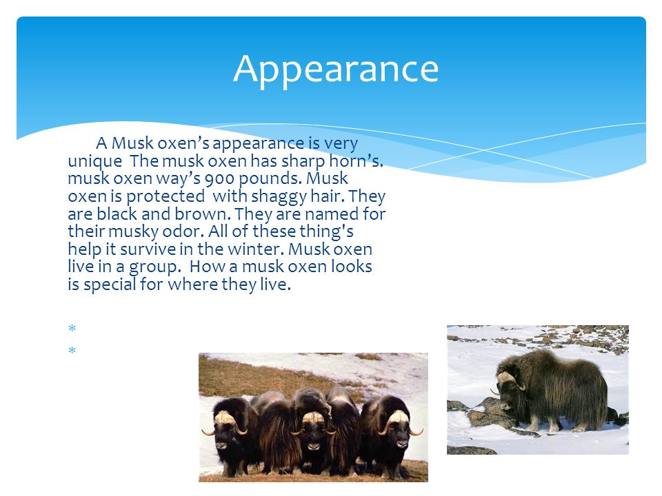 Appearance A Musk oxen's appearance is very unique The musk oxen has sharp horn's.