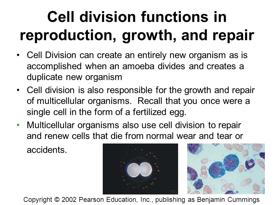 "Chapter 12 The Cell Cycle ""Omnis cellula e cellula"" –Every cell ..."