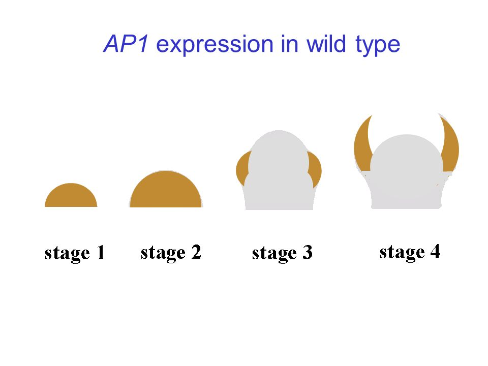 AP1 expression in wild type