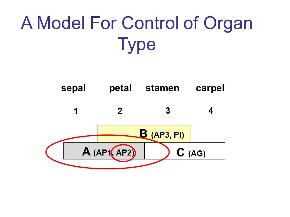 A Model For Control of Organ Type B (AP3, PI) C (AG) A (AP1, AP2) sepalpetalstamen carpel