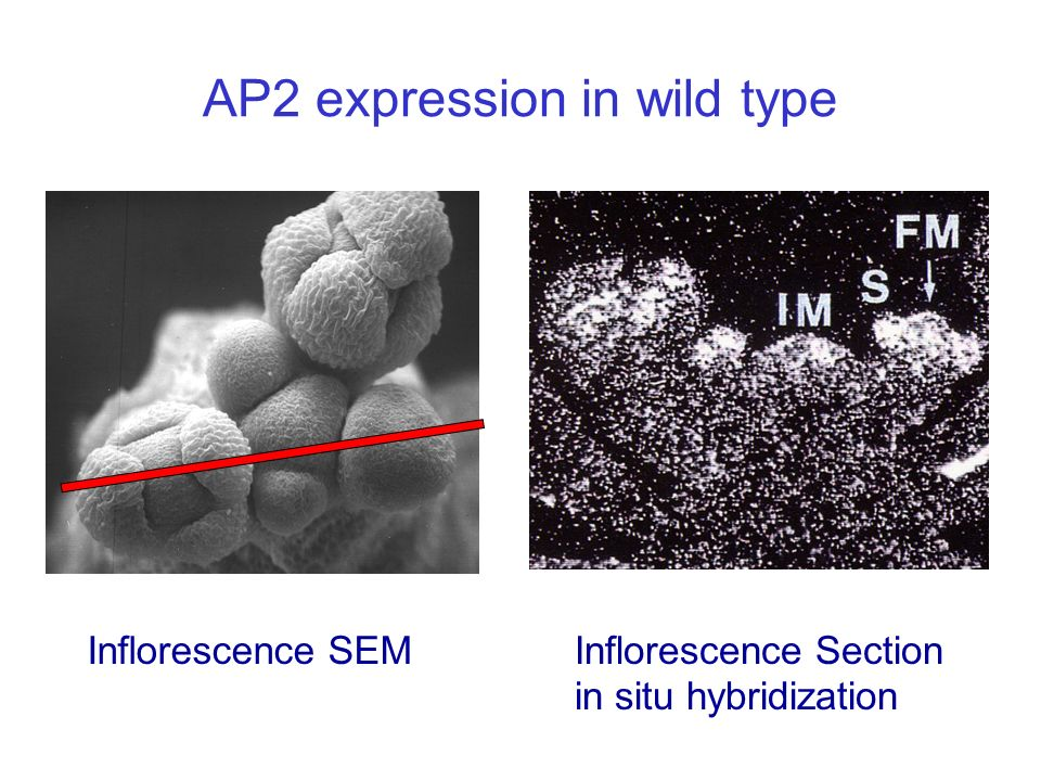 Inflorescence Section in situ hybridization AP2 expression in wild type Inflorescence SEM