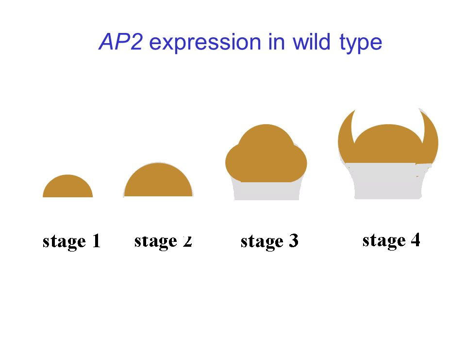 AP2 expression in wild type
