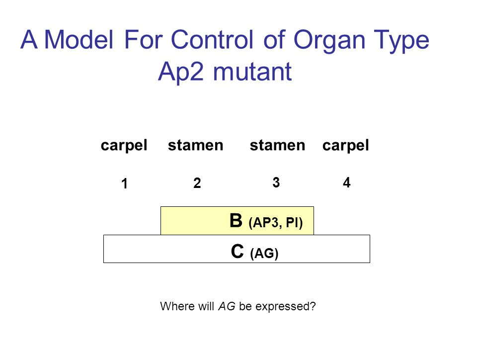 A Model For Control of Organ Type Ap2 mutant B (AP3, PI) C (AG) carpelstamen carpel Where will AG be expressed