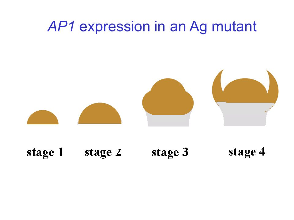 AP1 expression in an Ag mutant