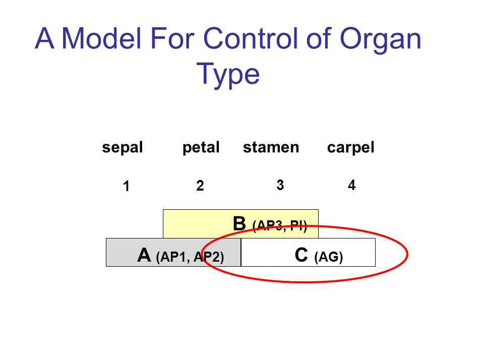 A Model For Control of Organ Type B (AP3, PI) C (AG) sepalpetalstamen carpel A (AP1, AP2)