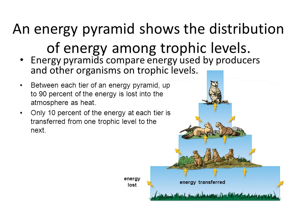 energy transferred energy lost An energy pyramid shows the distribution of energy among trophic levels.