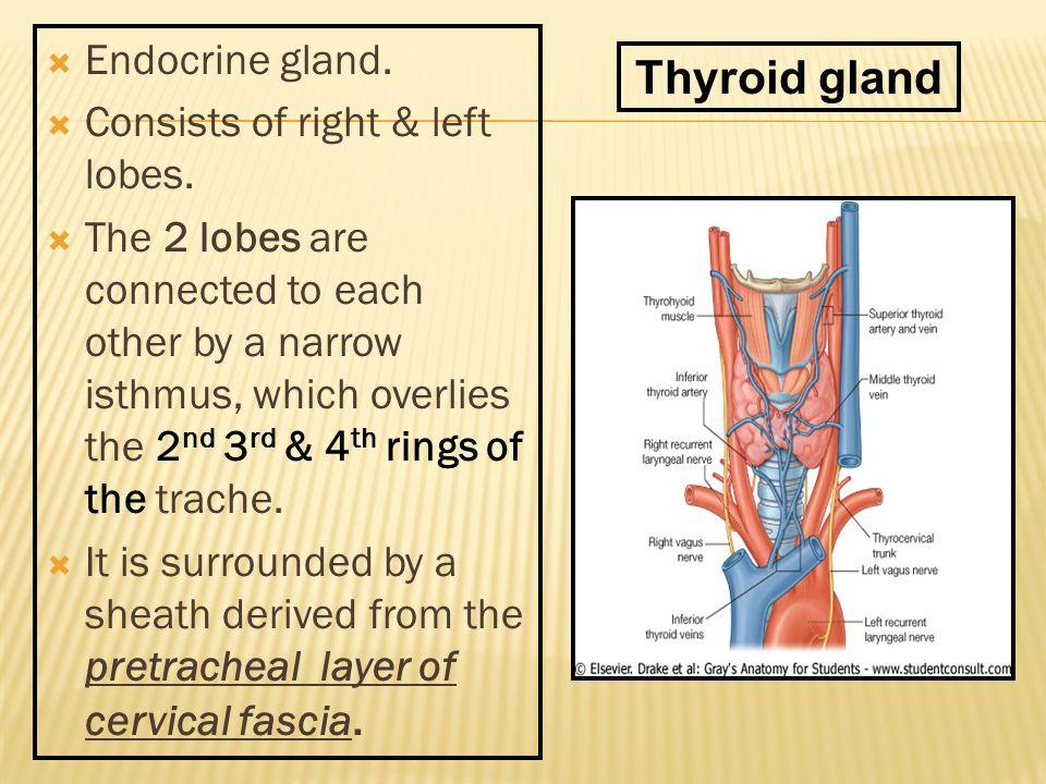 Thyroid Gland Parathyroid Trachea Esophagus By Prof