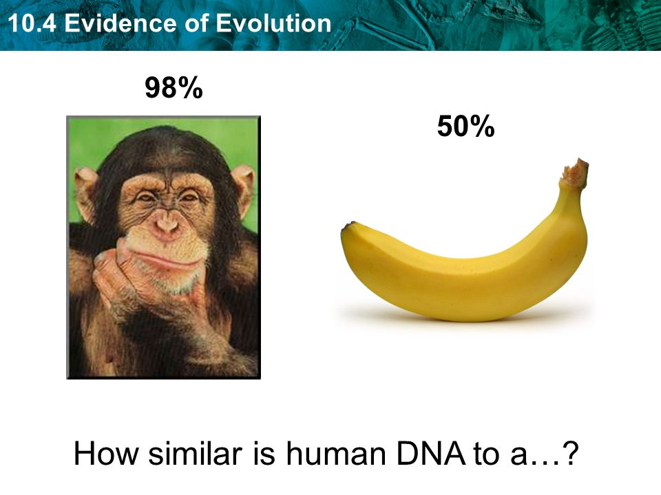 10.4 Evidence of Evolution How similar is human DNA to a… 98% 50%