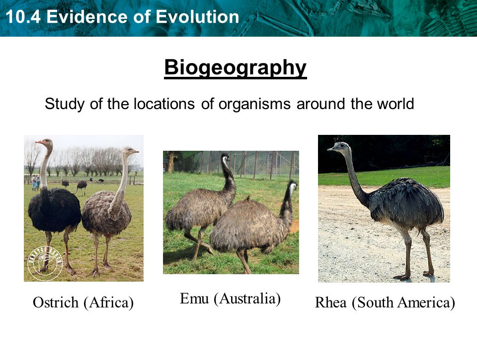 10.4 Evidence of Evolution Biogeography Study of the locations of organisms around the world Ostrich (Africa) Emu (Australia) Rhea (South America)