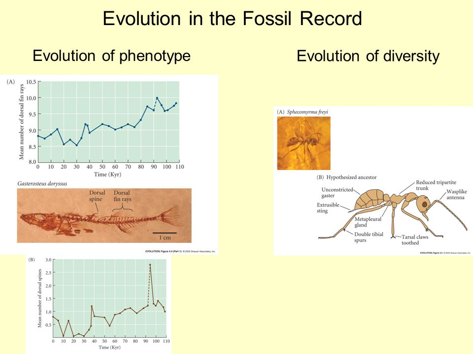 Evolution in the Fossil Record Evolution of phenotype Evolution of – Fossil Record Worksheet