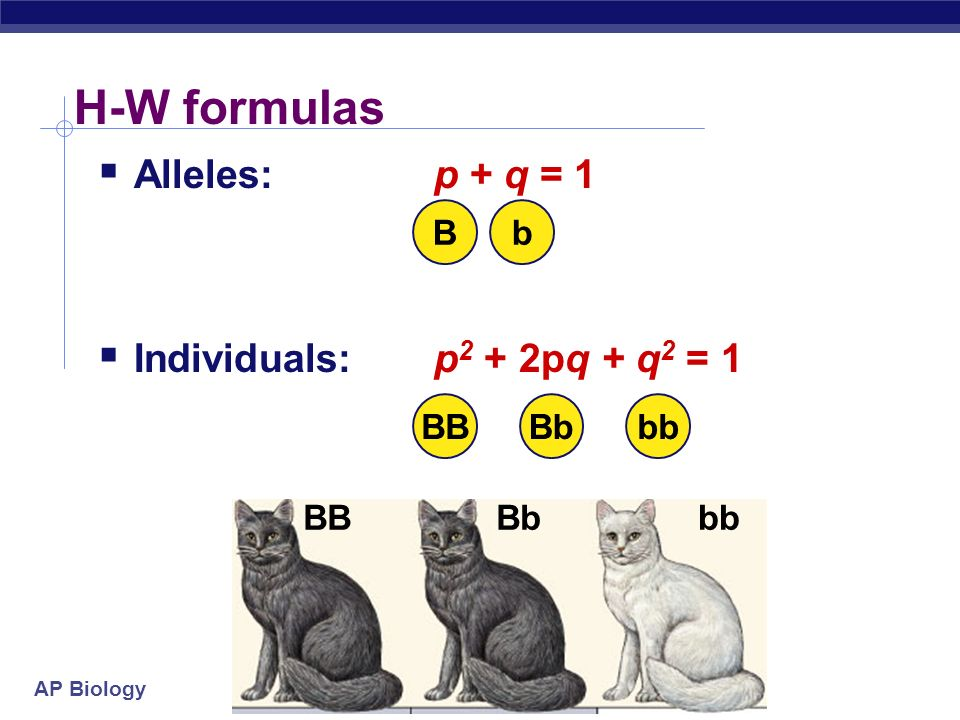 AP Biology Hardy-Weinberg theorem  Counting Individuals  frequency of homozygous dominant: p x p = p 2  frequency of homozygous recessive: q x q = q 2  frequency of heterozygotes: (p x q) + (q x p) = 2pq  frequencies of all individuals must add to 1 (100%), so: p 2 + 2pq + q 2 = 1 bbBbBB