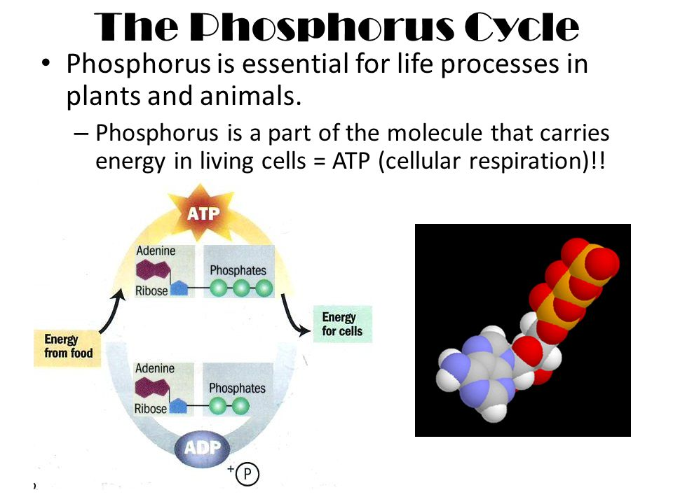 Nutrient Cycles Nitrogen and Phosphorus. WHY DO WE NEED NITROGEN ...