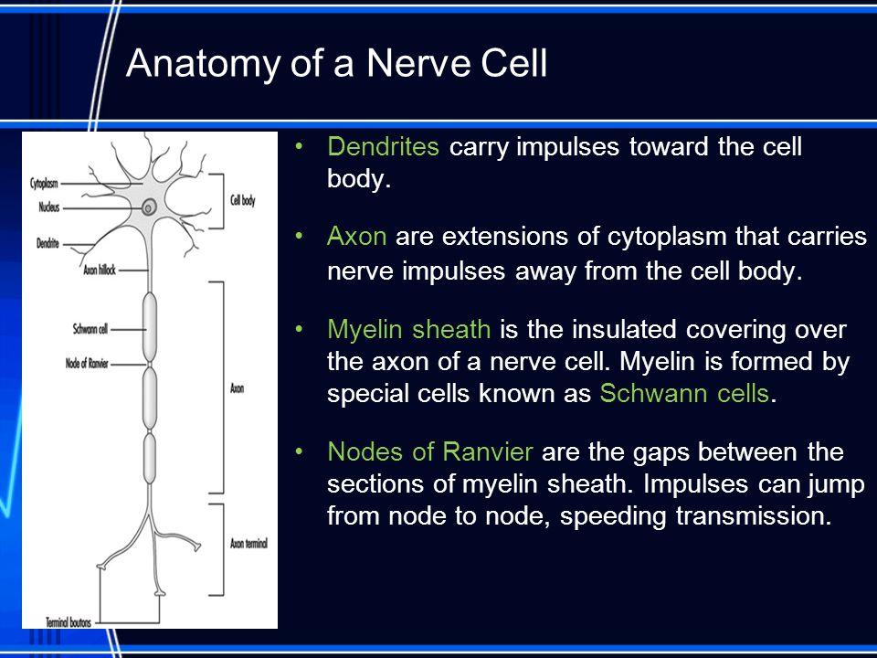 Dendrites carry impulses toward the cell body.
