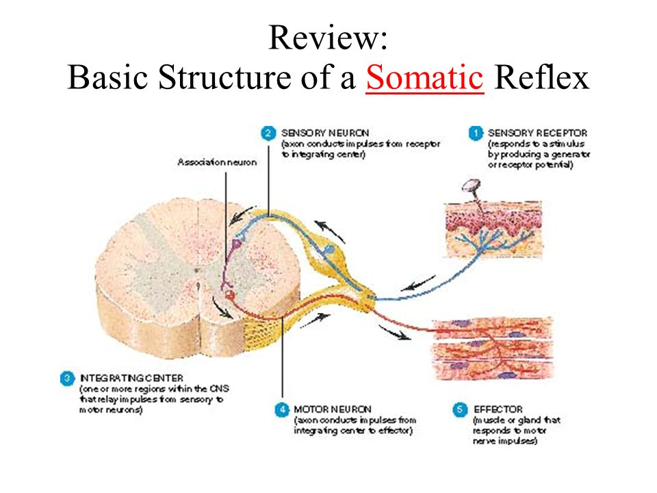 The autonomic nervous system review the structure of a reflex arc 2 review basic structure of a somatic reflex ccuart Gallery