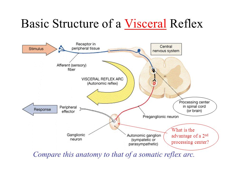 The autonomic nervous system review the structure of a reflex arc compare this anatomy to that of a somatic reflex arc ccuart Gallery