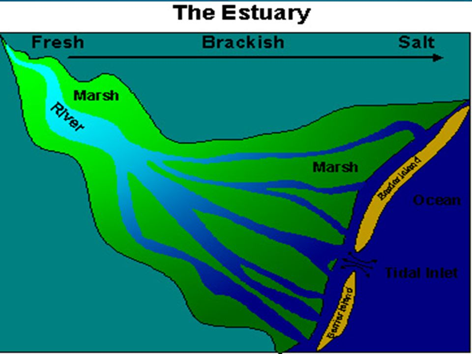 Salt Marsh-Part of an estuary Provide a habitat for fish