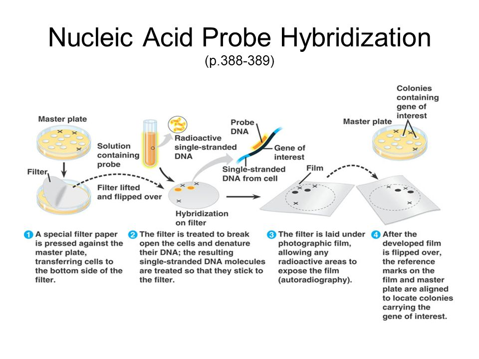 Nucleic Acid Probe Hybridization (p.388-389)