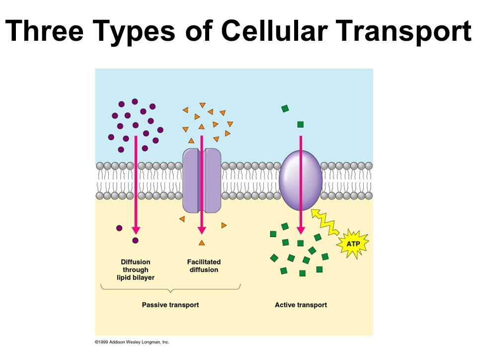 Three Types of Cellular Transport Facilitated Diffusion Movement ...