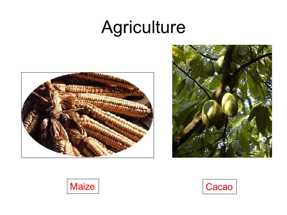 Agriculture Maize Cacao
