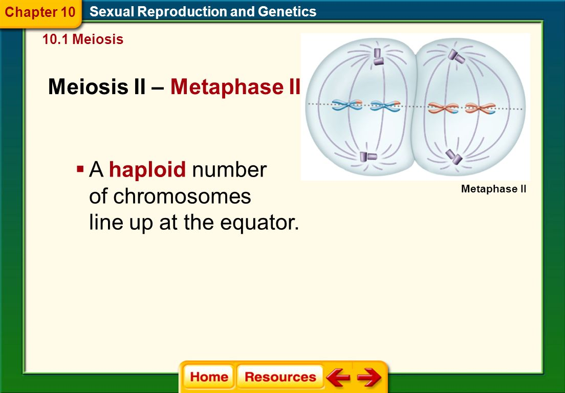 Meiosis II – Prophase II Sexual Reproduction and Genetics 10.1 Meiosis Chapter 10  A second set of phases begins as the spindle apparatus forms and the chromosomes condense.