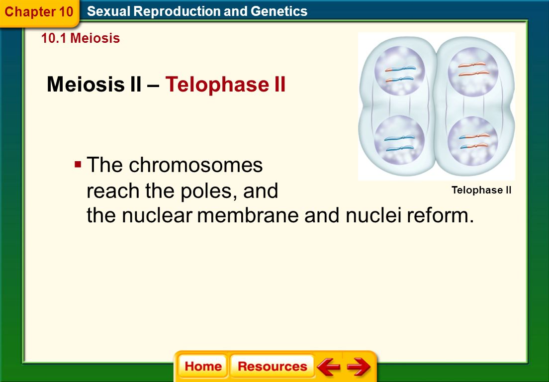 Meiosis II – Anaphase II Sexual Reproduction and Genetics 10.1 Meiosis Chapter 10 Anaphase II  The sister chromatids are pulled apart at the centromere by spindle fibers and move toward the opposite poles of the cell.