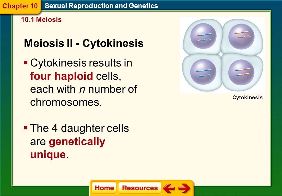 Sexual Reproduction and Genetics 10.1 Meiosis Meiosis II – Telophase II Chapter 10  The chromosomes reach the poles, and the nuclear membrane and nuclei reform.