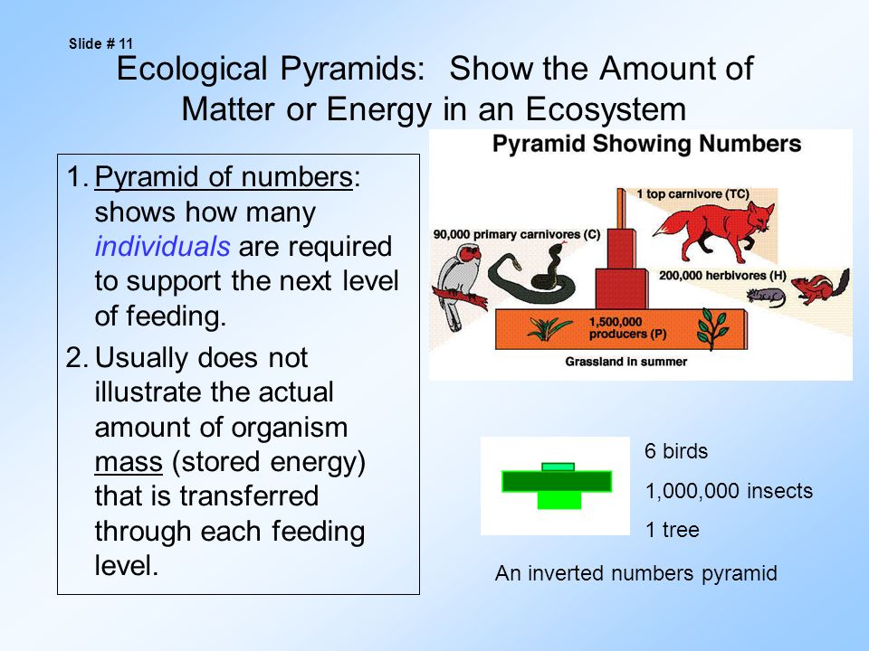 Ecological Pyramids: Show the Amount of Matter or Energy in an Ecosystem 1.Pyramid of numbers: shows how many individuals are required to support the next level of feeding.