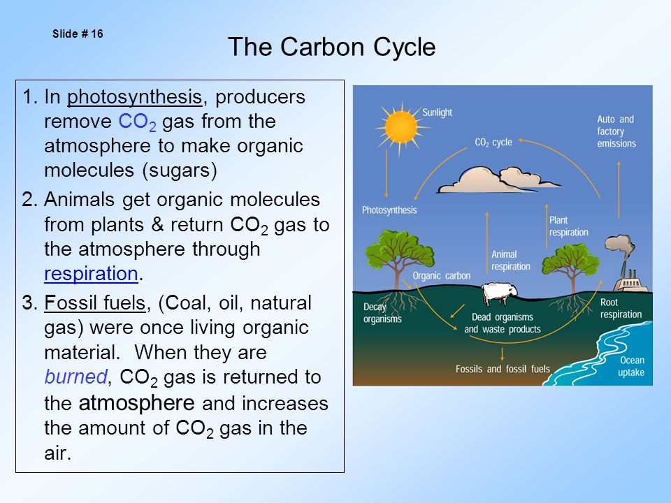 The Carbon Cycle 1.In photosynthesis, producers remove CO 2 gas from the atmosphere to make organic molecules (sugars) 2.Animals get organic molecules from plants & return CO 2 gas to the atmosphere through respiration.