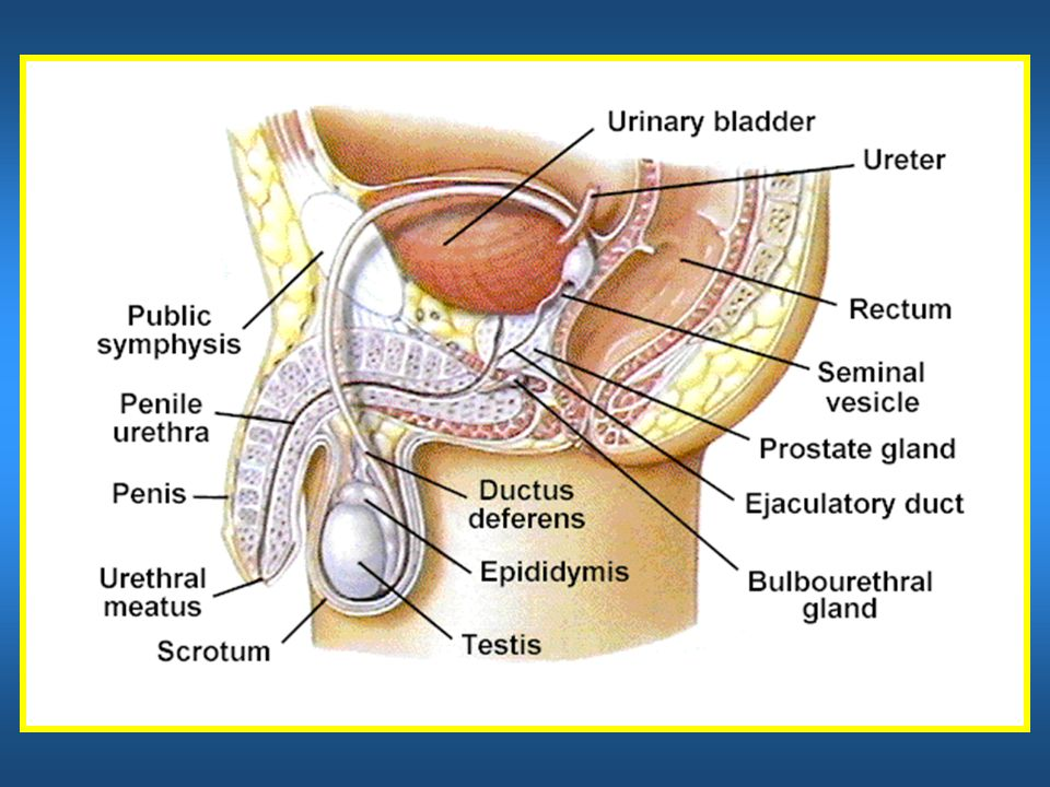 General Anatomy Of The Male Reproductive System Ppt Download