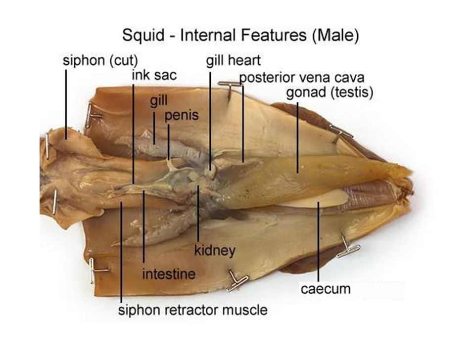 Squid Dissection Photo Credit: - ppt download