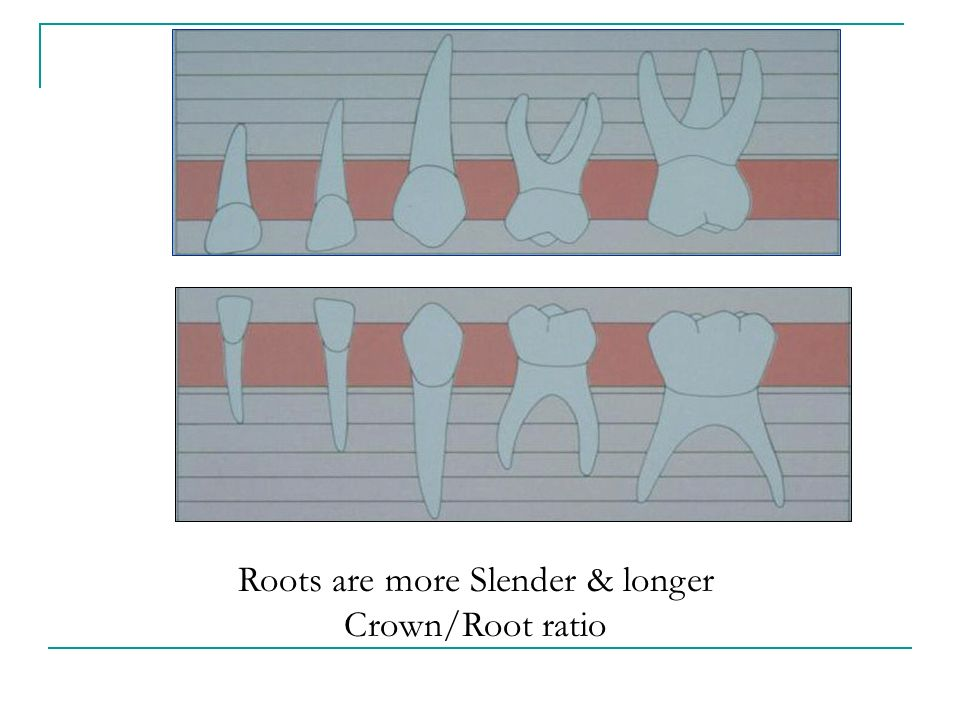 Roots are more Slender & longer Crown/Root ratio