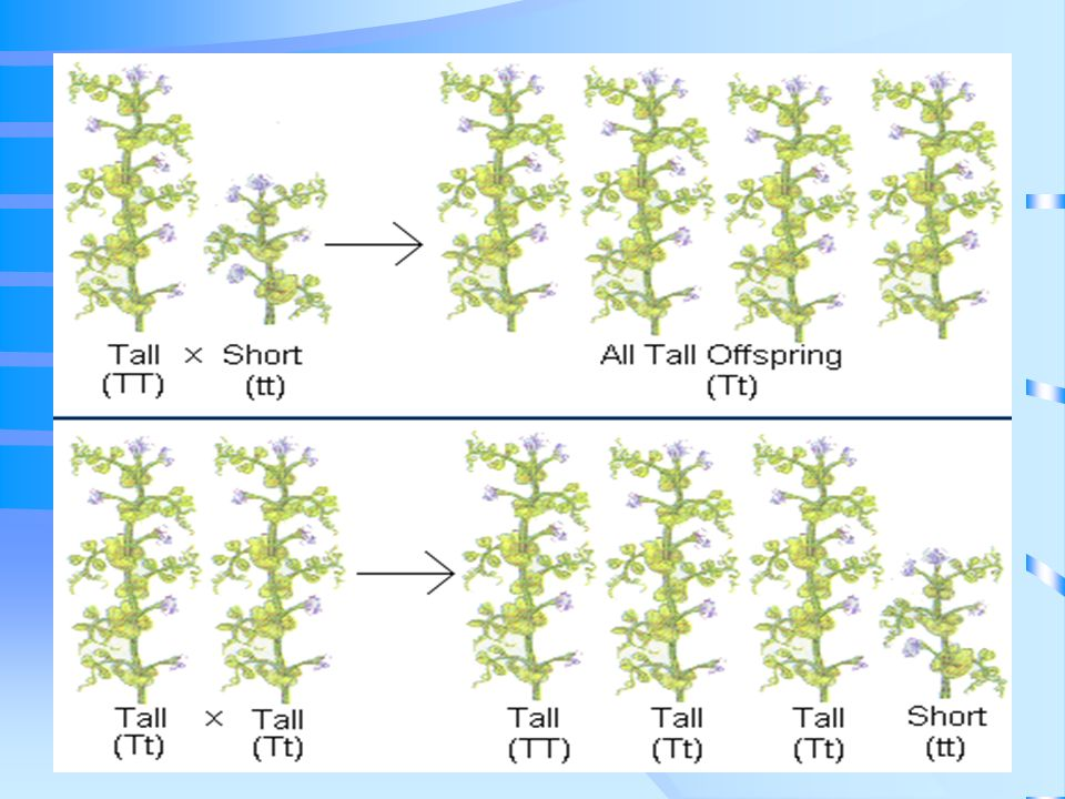 Test Cross: cross the tall plant (TT or Tt) with a short one (tt) If any recessive phenotypes show up in the next generation, the unknown genotype MUST be Heterozygous Homozygous tall x short TT x tt Heterozygous Tall x short Tt x tt