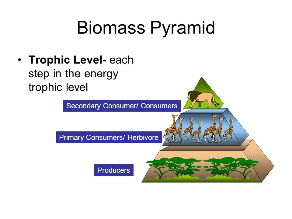 Biomass Pyramid Trophic Level- each step in the energy trophic level Producers Primary Consumers/ Herbivore Secondary Consumer/ Consumers