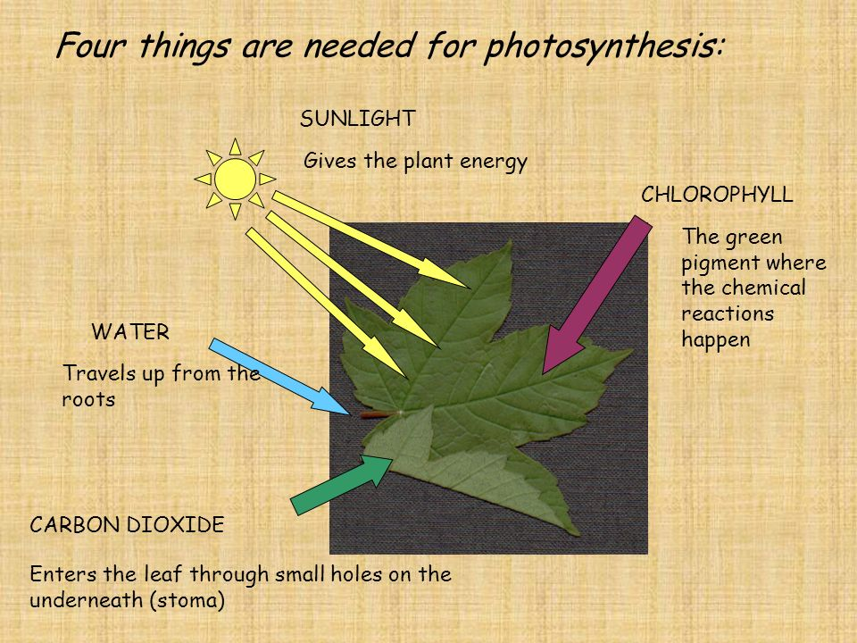 PHOTOSYNTHESIS What do you need for Photosynthesis