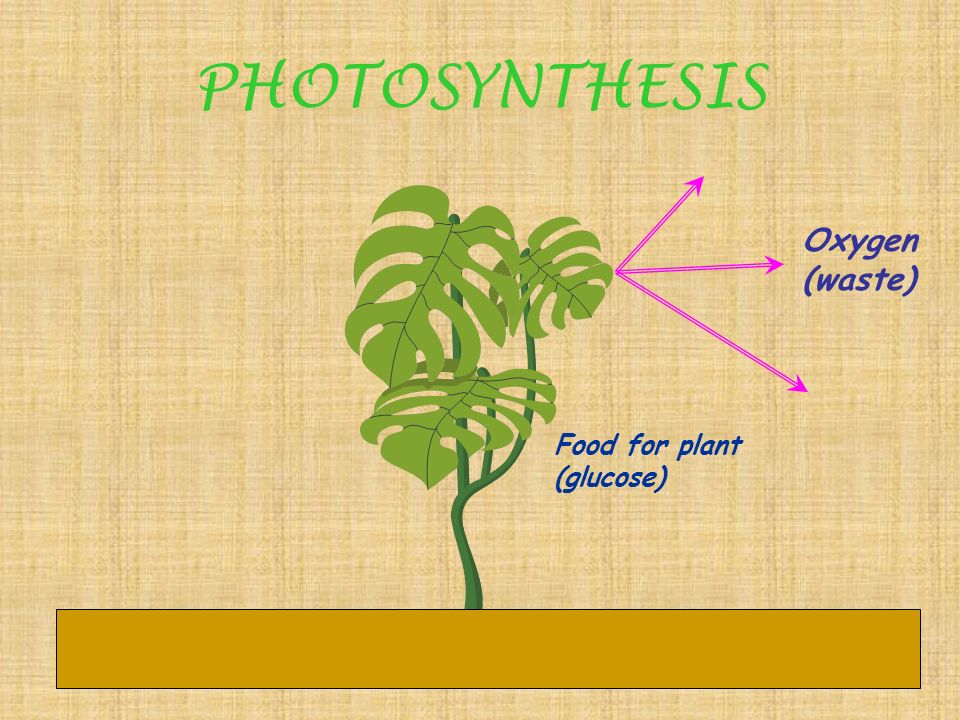 PHOTOSYNTHESIS What does photosynthesis make