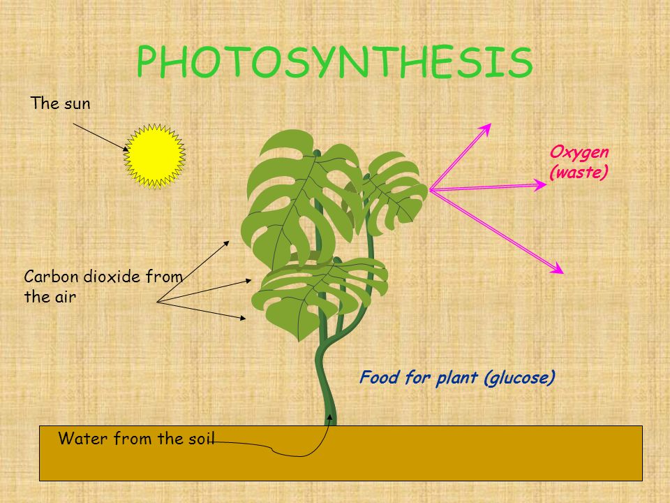 PHOTOSYNTHESIS water+ Carbon dioxide sugar +Oxygen