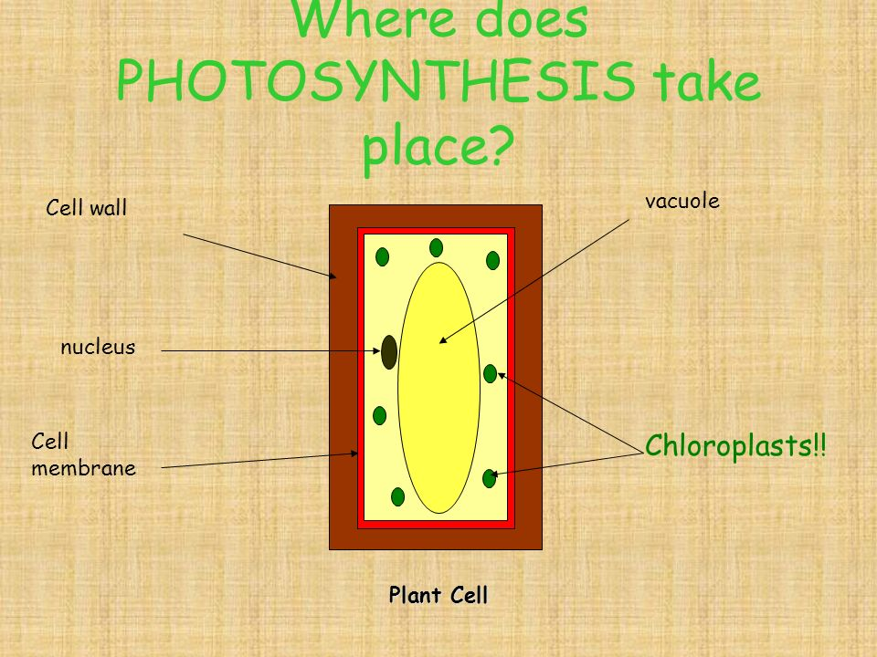 PHOTOSYNTHESIS Oxygen (waste) Food for plant (glucose) The sun Carbon dioxide from the air Water from the soil