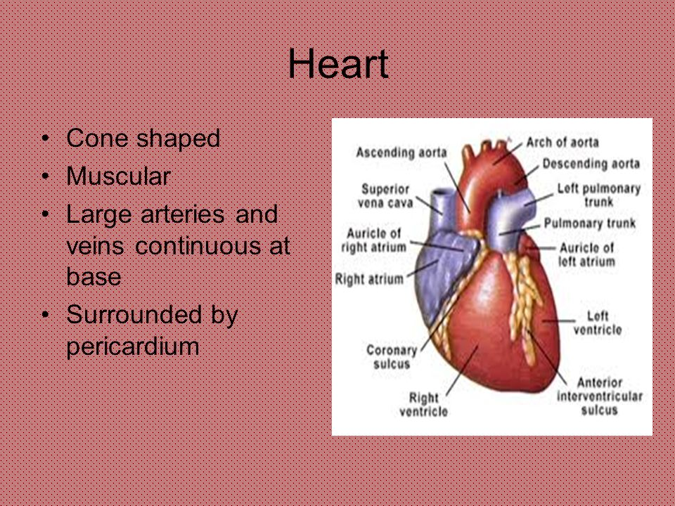 Anatomy and Physiology Cardiovascular System. Heart Cone shaped ...
